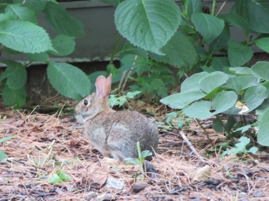 Carl Sandburg bunny rabbit!