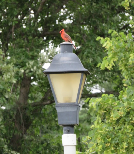 Iowa cardinal!