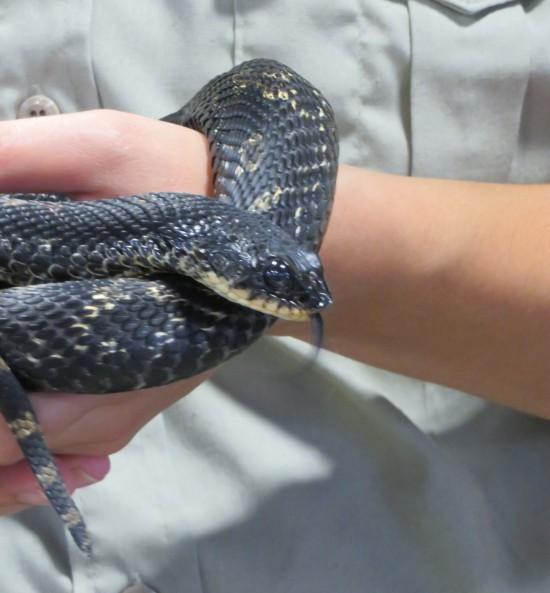 fair snake!
